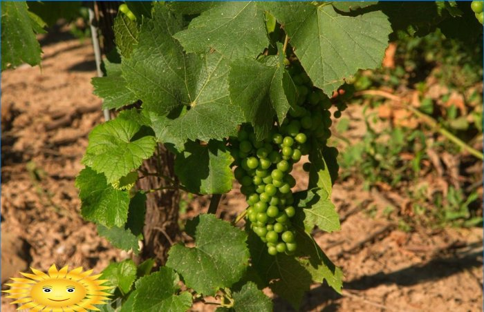 Vignoble intelligent: comment planter correctement le raisin